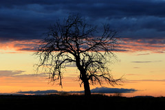 The Westbrook Tree (Explore 13/1/17) (Alan McIntosh Photography) Tags: sunrise tree silhouette light morning westbrook darling downs