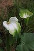 Arum Lily (Roy Lowry) Tags: arumlily paihia callalily zantedeschiasp bayofislands