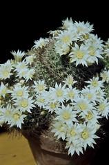 Mammillaria zeilmanniana weiß Kirchheim 1980 (Martin Theodor) Tags: mammillaria zeilmanniana weis