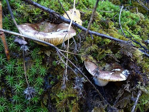 Russula romellii - Weißstieliger Ledertäubling , NGID710903746
