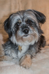 Lola (gillyd.d) Tags: lola shorkie dog pet rescue portrait