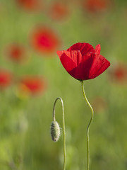 L'impatience **--- ° (Titole) Tags: poppy poppies shallowdof bokeh titole nicolefaton green red thechallengefactory