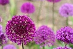 Allium Carpet (janroles) Tags: outdoor plants nature serene allium bokeh garden dof depthoffield flower fleur england flickr canoneos400d wow