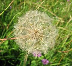 Dandelion (Hannelore_B) Tags: pusteblume dandelion blume flower seeds macro