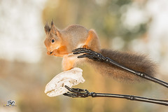 some helping hands (Geert Weggen) Tags: nature animal red closeup cute plant funny happy ground bright light branch yellow up look mammal rodent squirrel fall autumn black skeleton arm hand bones massage attack geert weggen hardeko bispgården jämtland sweden