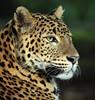 Shrilankan panther Burgerszoo JN6A6440 (j.a.kok) Tags: panter panther luipaard leopard shrilankanpanther shrilankapanter pantheraparduskotya burgerszoo mammal shrilanka azie asia predator zoogdier kat cat