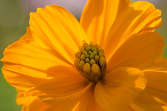 fall flower (the_green_squirrel) Tags: flora leesburg virginia unitedstates us