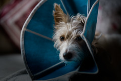 Solitude..... (christilou1) Tags: sony a7rii fe85 14 gm dog jack russell cone coney mastin portra 400