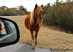 Wild Pony of Assateague Island MD (TravelsJ19) Tags: assateagueisland pony horse horses maryland island wild wildpony assateague