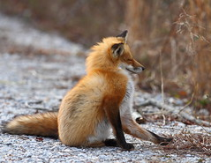 A Scratch Always Feels Good (ftherit) Tags: red fox animals nature bombay hook delaware usa canon 7d 300mm
