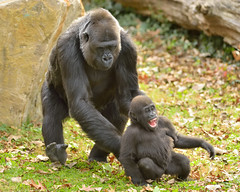 Tickles! (26106) (Mike S Perkins) Tags: kczoo makena masika gorilla babysitter kansascity play baby infant ape green grass tenderness ngc