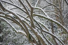 Lonicera Maackii in Winter (ScarletBlack) Tags: dartshillgarden dartshill dartshillgardenpark white winter snow cold garden wintergarden loniceramaackii honeysuckle bark archingbranches