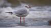 Lachmöwe vor tosender Brandung (AchimOWL) Tags: möwe tier vogel wildlife ostsee gx8 animal outdoor strand zingst natur nature balticsea gull larusridibundus