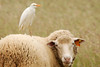 Portugal Egret sheep (Leonel Richard) Tags: cattle egret portugal salgados gale