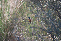 DSC_7788.jpg (ManuelSilveira) Tags: aves fauna guardarios