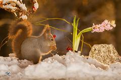 in same direction (Geert Weggen) Tags: red nature animal squirrel rodent mammal cute look closeup stand funny bright sun backlight ice winter snow branch christmas hyacinth leaf flower plant white geert weggen bispgården ragunda jämtland sweden