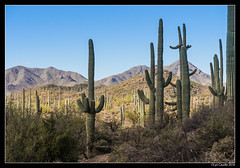 "Saguaros • <a style=""font-size:0.8em;"" href=""http://www.flickr.com/photos/19658346@N02/32055995985/"" target=""_blank"">View on Flickr</a>"