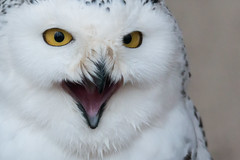Smile (Andrew_Leggett) Tags: snowyowl buboscandiacus owl smile birdofprey closeup excited grin andrewleggett