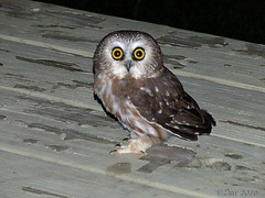 Saw-whet Owl (Picsnapper1212) Tags: sawwhet owl raptor bird animal nature caesarcreekstatepark warrencounty ohio