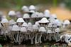 mushrooms_3706.jpg (ImaginingsLifeImages) Tags: pathkadasurveyarea sabaragamuwaprovince asia nature thebuwana floraandfauna srilanka fungi places flora sabaragamuwaproince