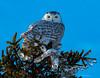 Harfang des Neiges -  Snowy Owl (MichelGuérin) Tags: 2017 buboscandiacus canada exterior extérieur harfangdesneiges hiver january janvier lightroomcc michelguérin mirabel nature nikon nikonafsnikkor200500mmf56eedvr nikond500 oiseaux qc québec rangstdominique snowyowl winter ca