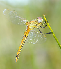 Morgentau 2 (rudolfaurnhammer) Tags: natur tiere insekten libellen blaupfeil südlicherblaupfeil morgentau makro