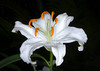 White Lily (tresed47) Tags: 2017 201701jan 20170112longwoodflowers asianlily canon7d chestercounty content flowers folder lily longwoodgardens macro pennsylvania peterscamera petersphotos places takenby technical us