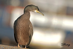 SHAG /  PHALACROCORAX  ARISTOTELIS (Tom Webzell) Tags: naturethroughthelens
