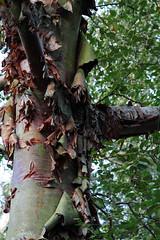 Tree at Westonbirt Arboretum (RobGreenow) Tags: westonbirt tree leaves 7d canon bark