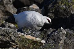 Glenshee Ptarmigan. (stonefaction) Tags: ptarmigan birds nature wildlife perthshire angus munro mountain snow scotland