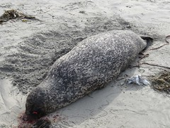 Dead Seal (aking1) Tags: sandiego california unitedstates