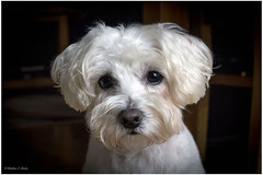 Mollie deep in thought (mattpacker1978) Tags: dogportrait art dog westhighland westipoo k9 cute fluffy white doggy nose eyes 50mm canon dslr digita portrait love home family ears