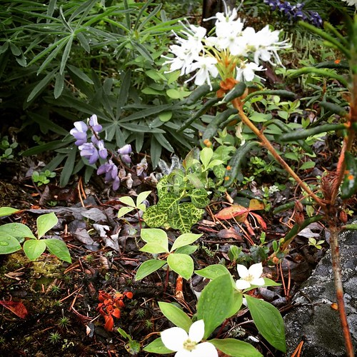 Dwarf Dogwood, Alpine Lupine and Labrador Tea colour the forest floor of #yxy #yukon