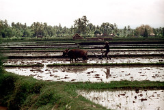 25-827 (ndpa / s. lundeen, archivist) Tags: people bali man color film water field birds animals rural 35mm indonesia landscape cattle farm nick farming ducks farmland ox 25 southpacific fields local farmer plow ricepaddies 1970s 1972 plowing oxen indonesian ricepaddy flooded balinese oceania pacificislands banteng nickdewolf photographbynickdewolf reel25