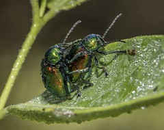 Dewy Dogbane Beetles (Odonata457) Tags: county unitedstates howard environmental maryland columbia area mating middle dogbane beetles patuxent chrysochusauratus