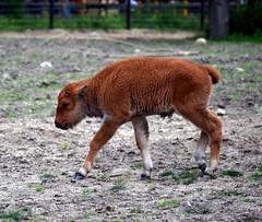 Baby Bison (Vinny Gragg) Tags: cute animals mammal zoo illinois brookfield bison bovinae mammals brookfieldzoo babybison brookfieldillinois