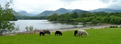 Keswick, Lake District. (jenichesney57) Tags: trees england lake mountains green water fence geese gate rocks sheep lakedistrict ducks derwentwater keswick