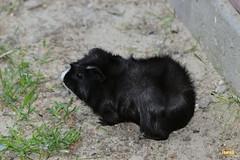 10. Guinea pig / морская свинка
