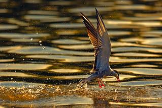 Tern Splashdown