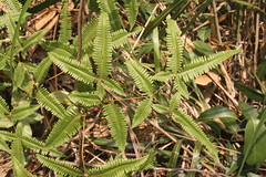 Jianfengling/ - Dicranopteris sp./ 3096 (Petr Novk ()) Tags: china plant fern nature asia wildlife asie  hainan    rostlina  dicranopteris gleicheniaceae na jianfengling
