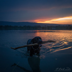 The last fetch of the day (Neferkheperure) Tags: dog cane female corso stick