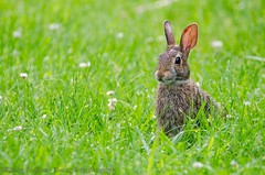 Bunny (lindsayh710) Tags: rabbit bunny grass easter ears lakelogan
