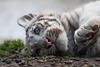 White Tiger Cub (Sandra Wildeman) Tags: portrait zoo cub nikon tiger porträt bigcat tierpark portret tijger tigre whitetiger dierentuin amnéville wittetijger tigreblanco katachtigen whitetigercub tigreblanc d5300 zoodamneville