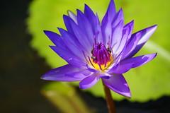 Water lily (ddsnet) Tags: plant flower waterlily sony taiwan 99   taoyuan aquaticplants  slt           nymphaeatetragona      singlelenstranslucent 99v