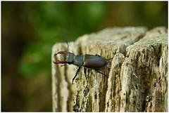 Vliegend hert (Lucanus cervus) (7D028918) (Hetwie) Tags: nature insect nederland natuur limburg kever stagbeetle lucanuscervus jabeek zeldzaam vliegendhert hertkever