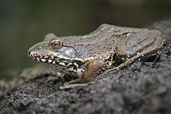 Marsh Frog, Pelophylax ridibundus [Explored 15.07.15] (AJC1) Tags: wildlife frog frogs amphibians pelophylaxridibundus