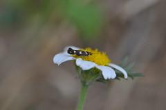 Microlepidóptero (esta_ahi) Tags: barcelona españa insectos fauna spain moth lepidoptera penedès испания santmartísarroca mariposilla microlepidóptero riudefoix