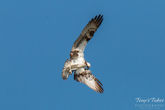 Osprey on patrol for a meal