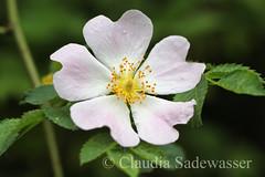 Hundsrose (Xerini) Tags: plants flower nature rose outdoor natur pflanzen bunt strauch blten hundsrose rosablten weiseblten