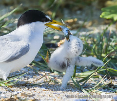 Tern chick hangs from a fish (Mike Black photography) Tags: new black bird beach mike nature canon adult birding nj aves chick shore jersey tern 800mm 1dx
